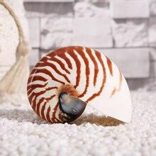 Органическая ракушка четыре большой известный винт Средиземноморский аквариум аквариумный Декор коллекционные украшения