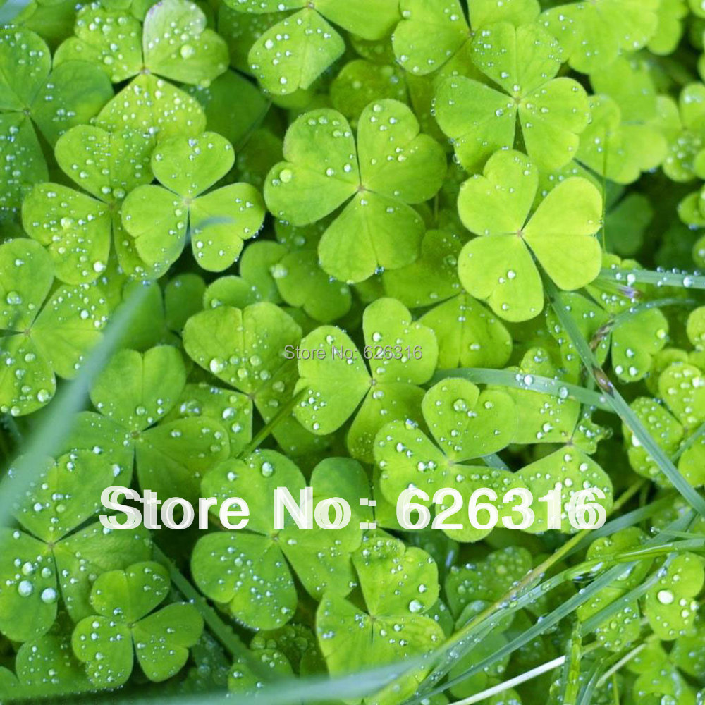 40pcs lot flower seed four leaf clover seed vanilla lucky grass