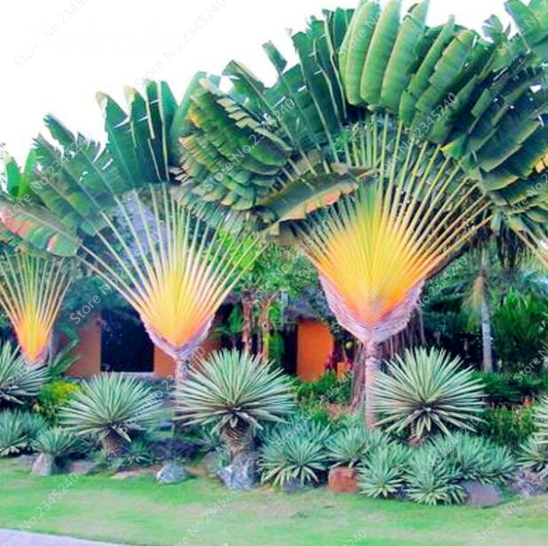 10 Pcs/ Bag Japan Cycas Indoor Drawf Bonsai Potted Outdoor Sago Palm Tree Flower Plant For Home Garden Pot Decor Easy To Grow