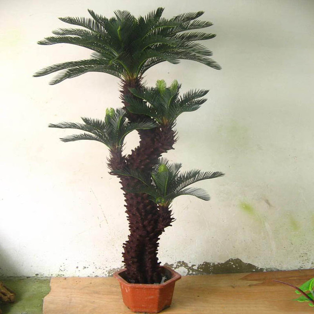 Cycas Seeds Potted balcony planting  flower seed  for home garden