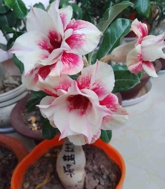 3 semillas Adenium arabicum Bonsai