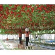 Hot Tomato Seed Kyotango Organic Vegetable Seeds 120seeds