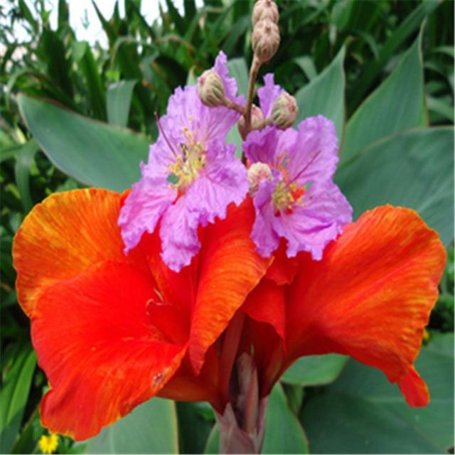20 Seeds Topf Blumen Große Blume Canna Samen Balkon Bonsai Pflanzen Für  Garten U0026 Hause Vier