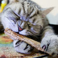 5 ШТ. Кошка чистки зубов Чистый природный catnip кошка молярная Зубная Паста палку silvervine актинидии плоды Matatabi кошка закуски палочки