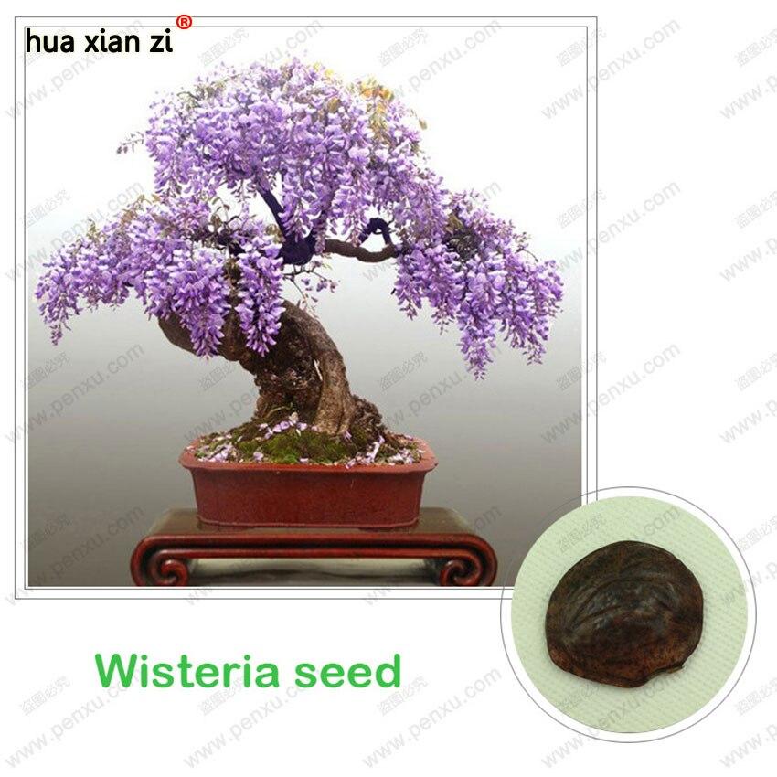 Глициния семена, бонсай Глицинии sinensis дерево 100% истинного семени в натуральном съемки, 10 шт./пакет