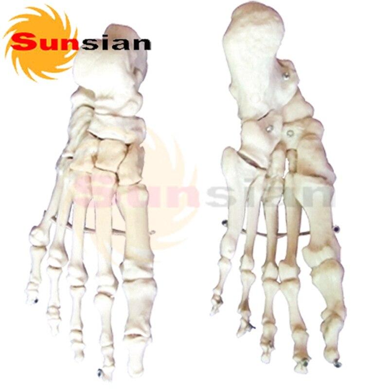 The Model Of Foot Bonepair Human Skeleton Anatomical Model In