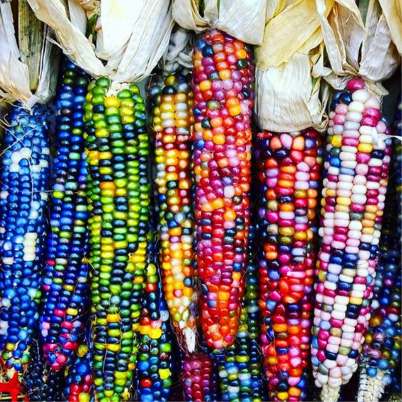 40pcs/bag sweet rainbow corn seeds,(also is corn bulb),colorful corn grain cereals,High-Quality seeds Vegetables for home garden