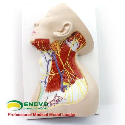 Anatomía de cuello humano anatomía del superficial cuello nervio ...