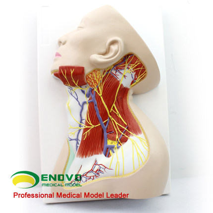 Anatomy Of Human Neck Anatomy Of The Superficial Neck Muscle Nerve