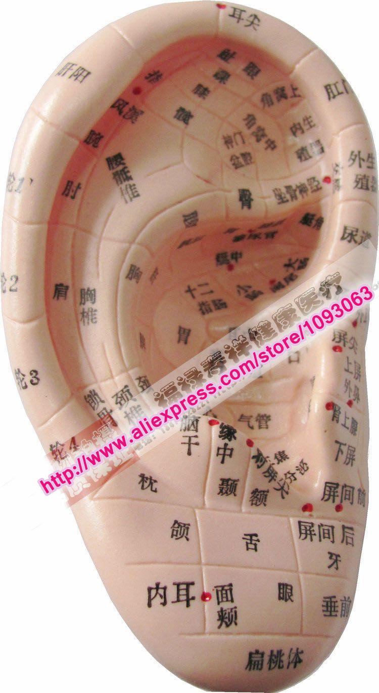 1 StÜck Ohrakupunktur Modell Chinesische Massage Pädagogisches Medizinische Werkzeug SorgfäLtige Berechnung Und Strikte Budgetierung