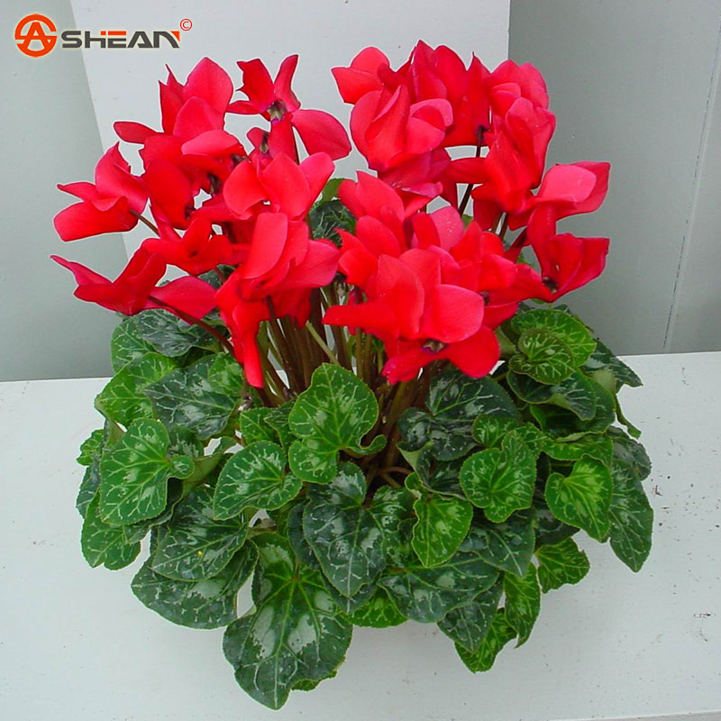 flowering indoor plants flowering house plants satsuki azalea
