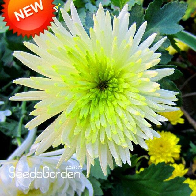 Neue Samen 2018! 100 Samen/lot Bicolor Grün Weiß Chrysantheme Samen ...