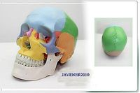 NewLife Size Human Anatomical Anatomy Head Skull Skeleton Medical Model Colorful
