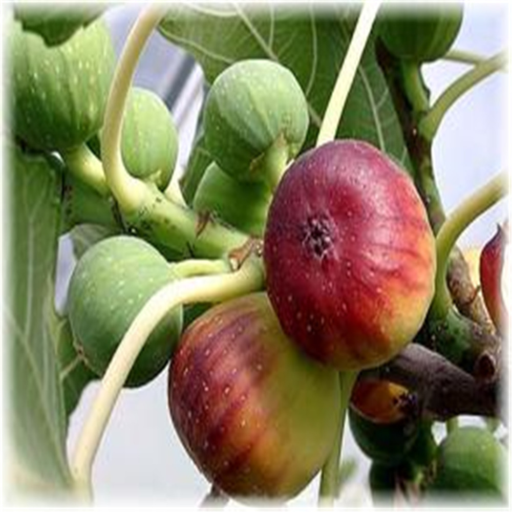 Top Quality Natural Fig fruit extract Powder 1kg 200g lot best quality noni fruit powder 100% natural morinda citrifolia extract with best price