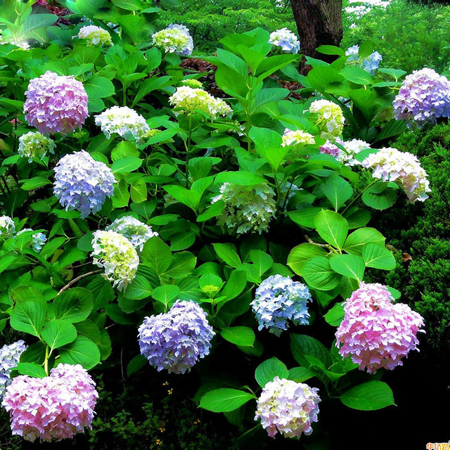 Hot Selling Perennial Flowers Hydrangea Seeds balcony potted plant ...