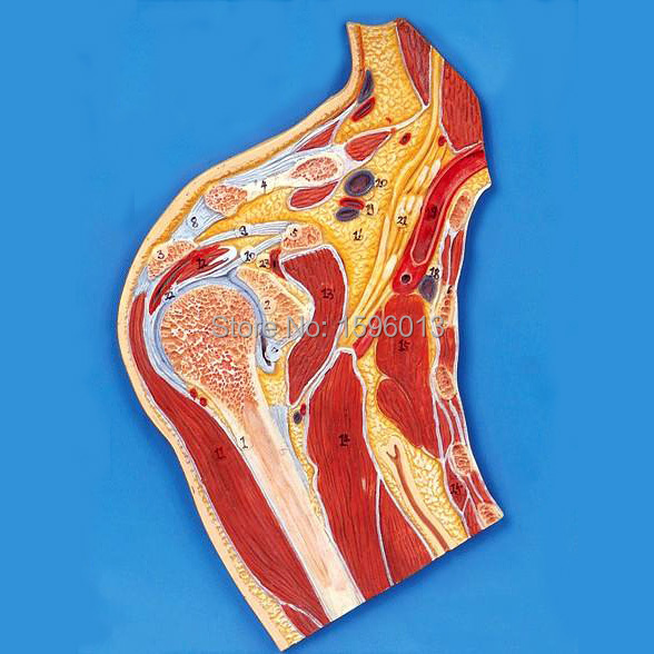 Shoulder Joint Section Model, Anatomical Shoulder Joint Model sagitally section model about tissue decomposition model for doctor patient communication model with magnetic