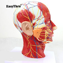Median Sagittal Section of The Head with Attached Vascular Nerve Model Beauty Micro Plastic Medicine Teaching Aid