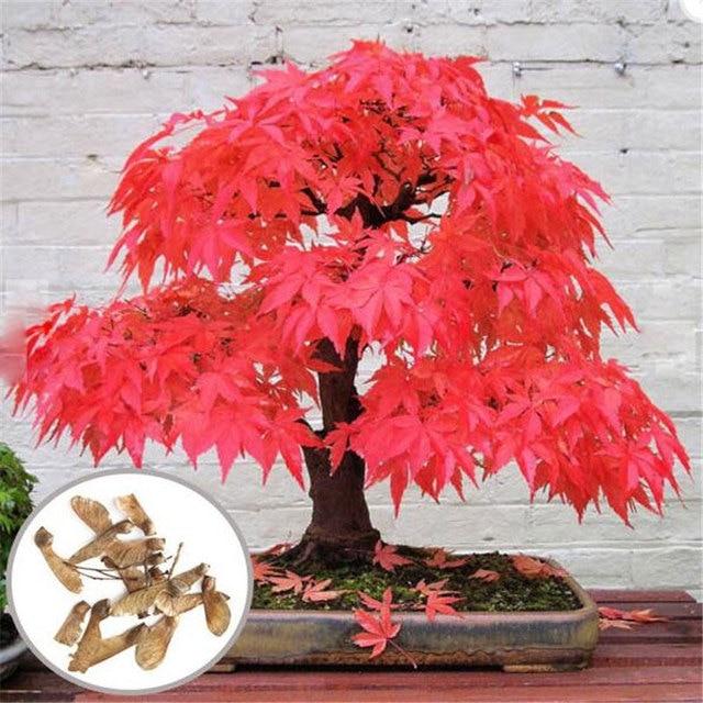 30 pcs arbre graines d 39 rable graines bonsa rouge rable japonais graines balcon plantes pour. Black Bedroom Furniture Sets. Home Design Ideas