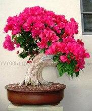цена на 30pcs Bougainvillea spectabilis Willd bonsais bonsai flower plants (san jiao mei) for home garden B79