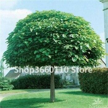 50pcs/ bag bonsai tree Exotic Catalpa Japan Bonsai Heirloom Nature Potted Grove Tree Plant for Flower Pot Planters