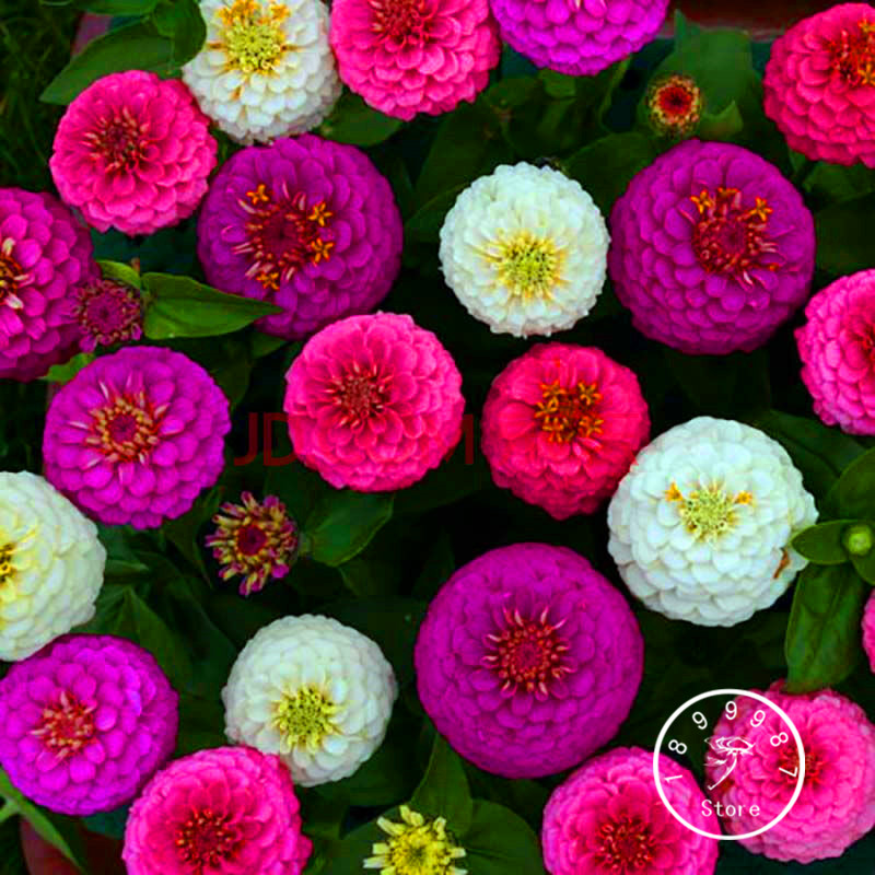 24 colors zinnia seeds perennial flowering plants potted charming 24 colors zinnia seeds perennial flowering plants potted charming chinese flower ebay mightylinksfo