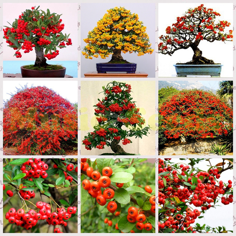 Image result for potted firethorn