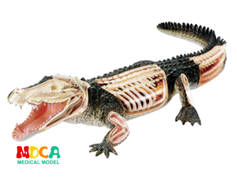 Crocodile 4d master puzzle Assembling toy Animal Biology organ anatomical model medical teaching model 4d master cat puzzle assembling toy animal biology organ anatomical model medical teaching skull skeleton model science toys
