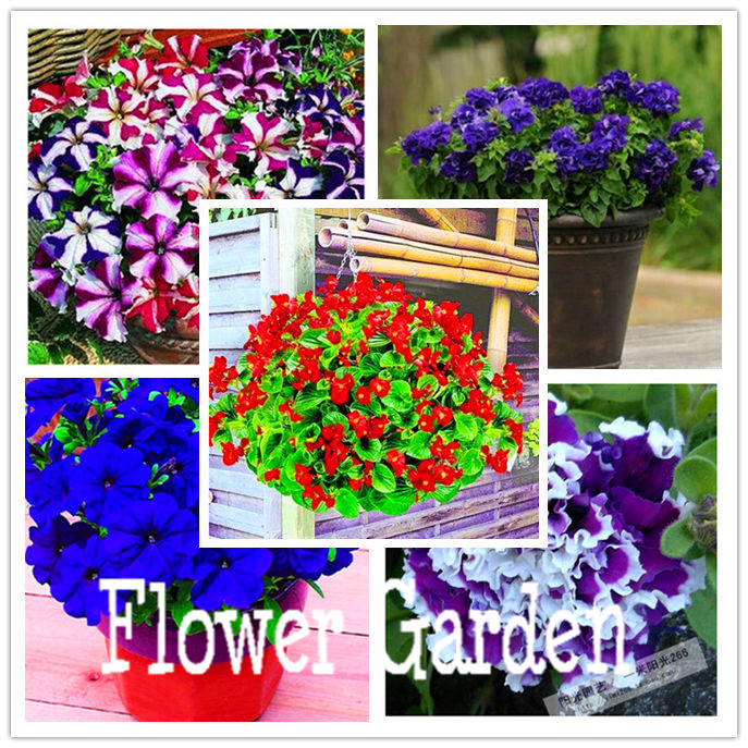 24 kinds hanging petunia seeds,garden Petunia, Petunia Seeds, Mixed color – 100 seeds/lot,#OIMVY8