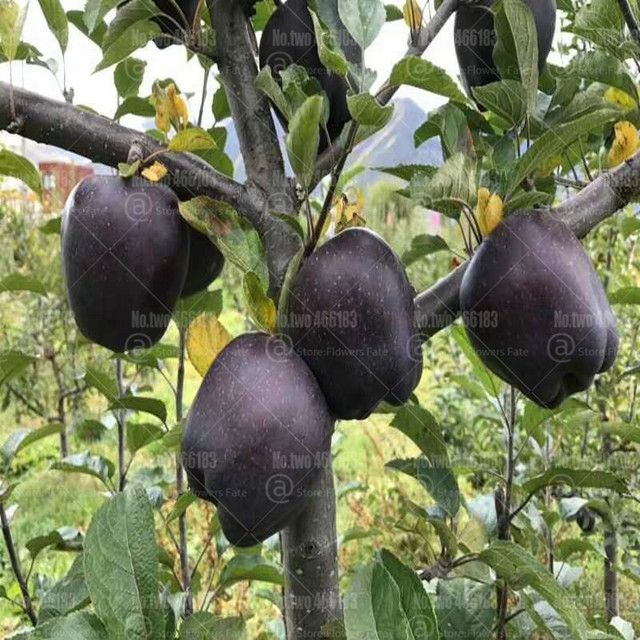 30Pcs Bonsai Black diamond apple tree plants dwarf apple rare perennial fruit for home garden 2