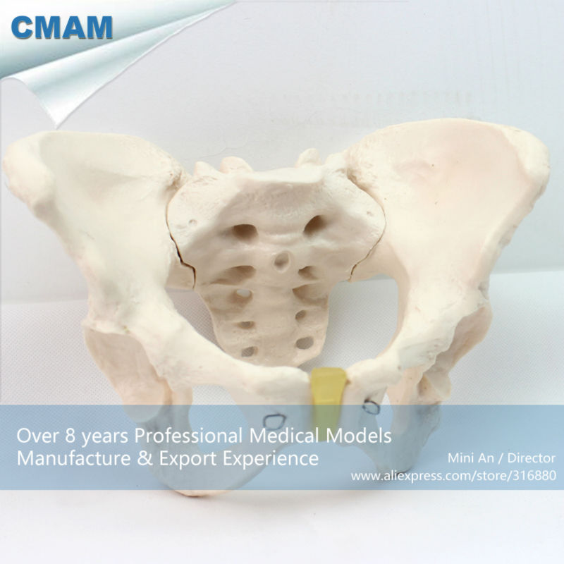 12340 CMAM-PELVIS03 Medical Anatomical Adult Female Pelvis Model, Anatomy Models > Male/Female Models 12338 cmam pelvis01 anatomical human pelvis model with lumbar vertebrae femur medical science educational teaching models