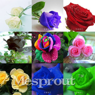 Hot Sale! 100PCS Flower Seed Holland Rose Seed Lover Gift Orange Green Rainbow RARE 24 Color To Choose DIY Home Gardening Flower