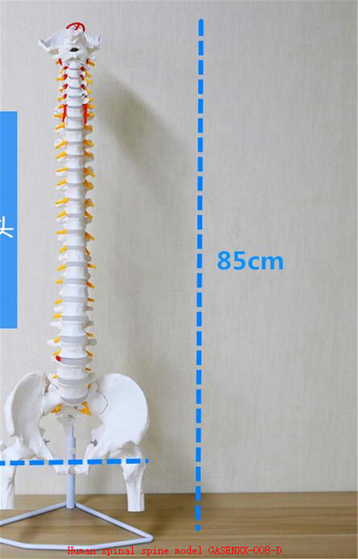 Root cervical spine Root thoracic vertebrae Root lumbar spine Sacral Coccyx Human spinal spine model GASENXX-008-D root apex