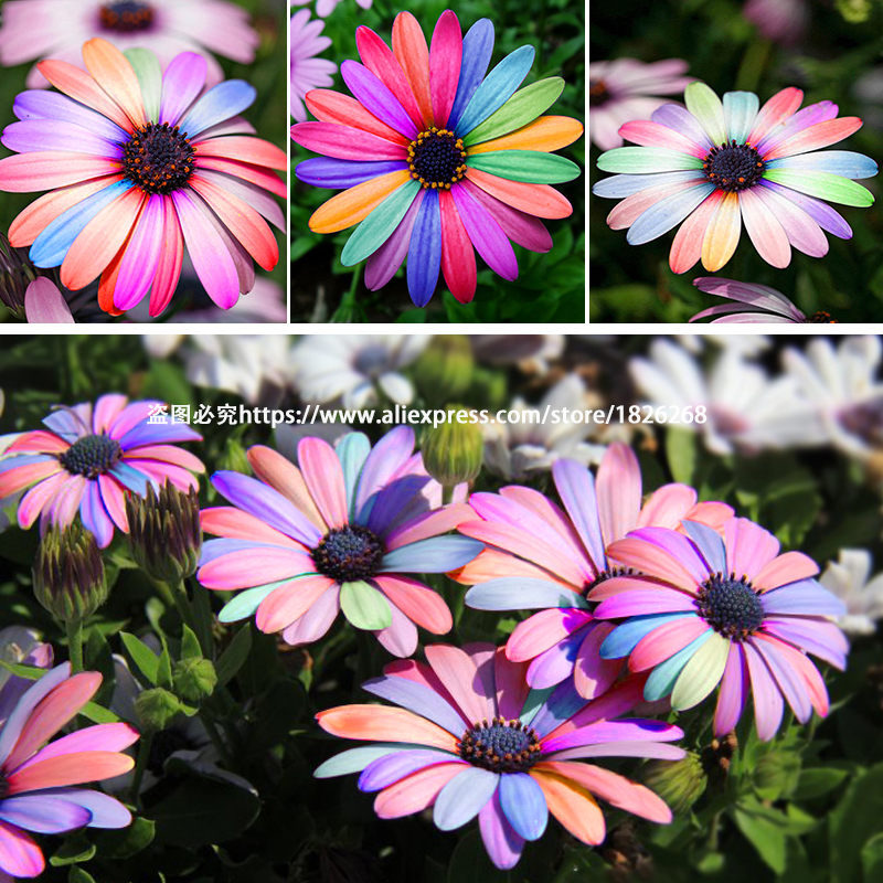 Bonsai colorful african daisy osteospermum seeds flower seeds balcony indoor office potted - Indoor colorful plants ...