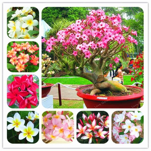 50 piezas hogar jardín Frangipani Color mezclado Plumeria Rubra flor bonsái decoración Romance huevo flores Bonsai planta hogar jardín