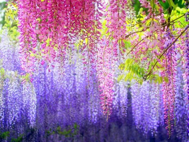 10 Blue Chinese Wisteria Seeds Purple Floribunda Vine S030