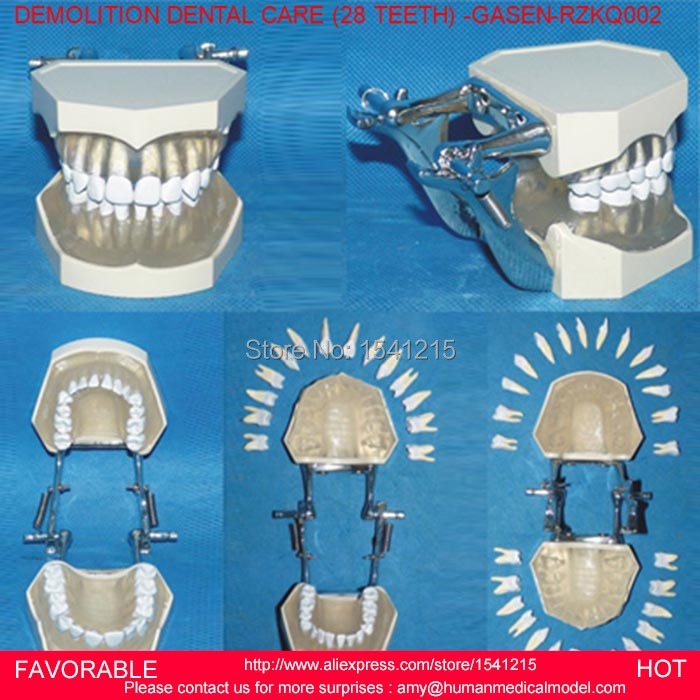 DENTAL MODEL TOOTH MODEL,ORAL CAVITY,NATURAL SIZE ORAL DENTAL TEACHING MODEL DETACHABLE DENTAL CARE (28 TEETH) -GASEN-RZKQ002 dental removable dental model dental tooth arrangement practice model with screw teaching simulation model oral materials