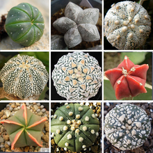 High Quality Mixed Astrophytum max Cactus Seeds 10pcs/pack Succulents Plants Bonsai Seeds DIY Home Garden Potted Plant Seeds
