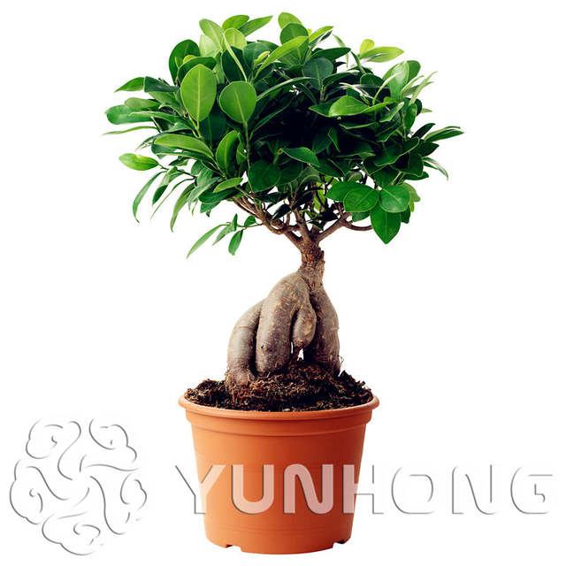 Online Shop Hot 50pcs Banyan Tree Bonsai Ficus Ginseng Plant
