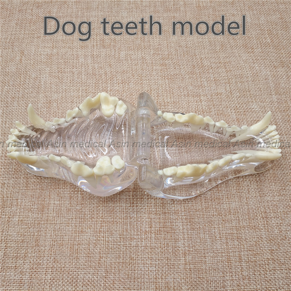 2017 new Dog tooth jaw model Veterinary Teaching Dog tooth transparent professional model 2018 good quality dog dentition model the dog teeth skull jaw bone transparent solution planing teaching veterinary animal model