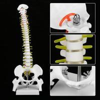 Ofis ve Okul Malzemeleri'ten Tıbbi Bilim'de 45cm lomber omurga ile pelvik ve iki femur modeli insan anatomisi anatomisi omurga modeli okul tıbbi öğretim materyali