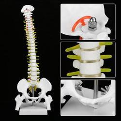 Columna Lumbar para adultos de 45cm con modelo pélvico, columna anatómica humana, con Pelvis de disco raquídeo modelo enseñanza medicina