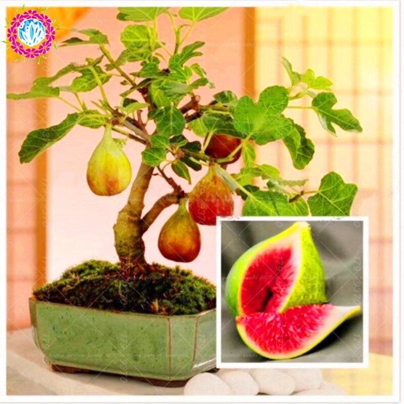 100 шт. бонсай инжир, съедобные плоды дерево бонсай, редкие Красный рис Фикус сапса многолетнее тропики домашние комнатные растения для дома ...