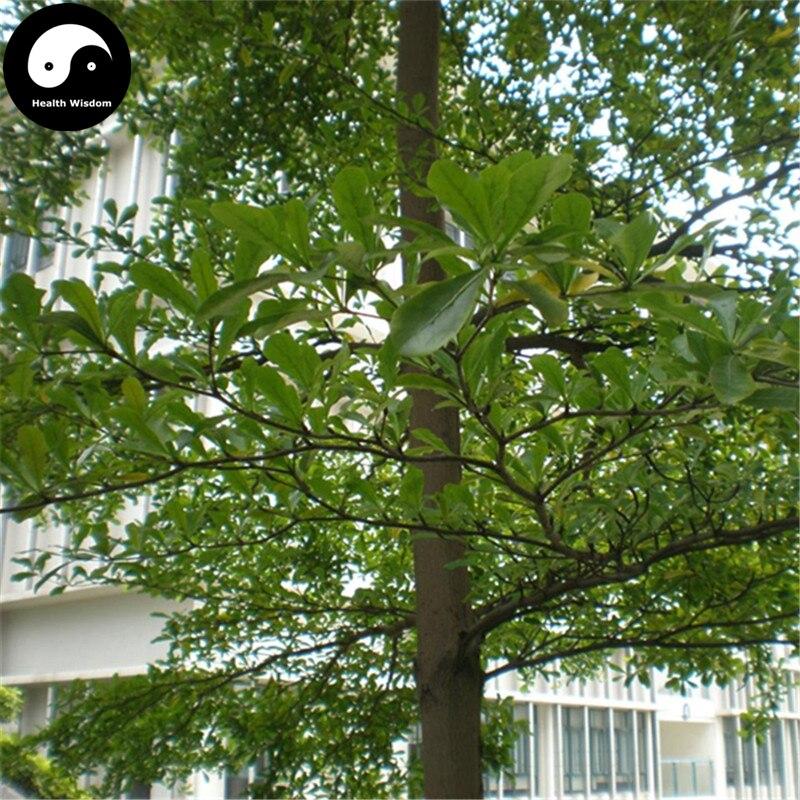 Buy Terminalia Mantaly Tree Semente 30pcs Plant Madagascar Almond Tree