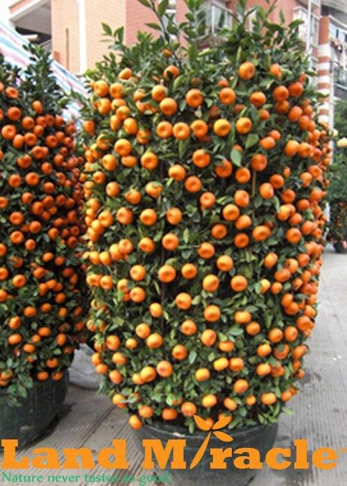 50 Seeds / Pack, Balcony Potted Orange Seeds, Bonsai Fruit Trees Citrus  Seeds,