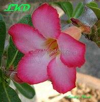 Desert Rose Plant Jasmine Flower Bonsai Tree 7 12 Inch Adenium Obesum Plants No296 Sweet Pink