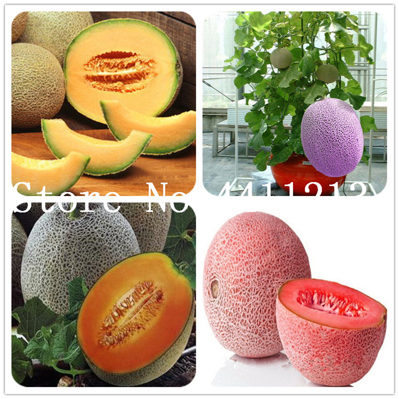 Fresh 20 Pcs Cantaloupe Melon Plants , Delicious Vegetable And Fruit Plants Green Plant Fresh Great For Home Garden