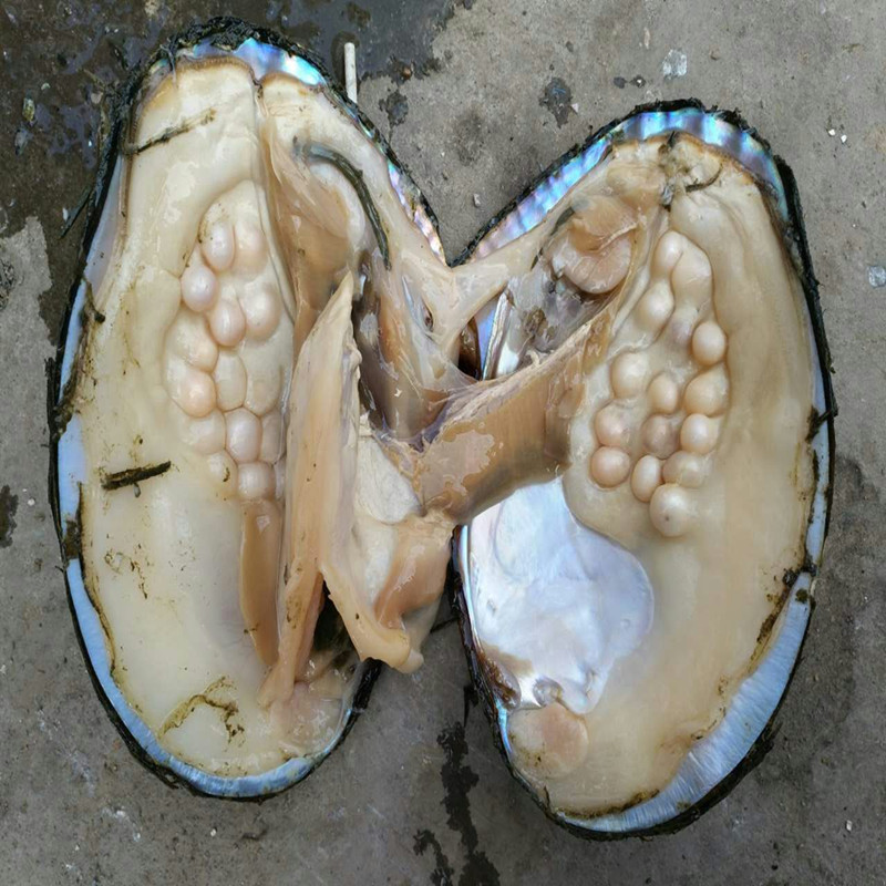 Bulk 5 Pcs Oysters Pearls Big Natural Freshwater Oyster