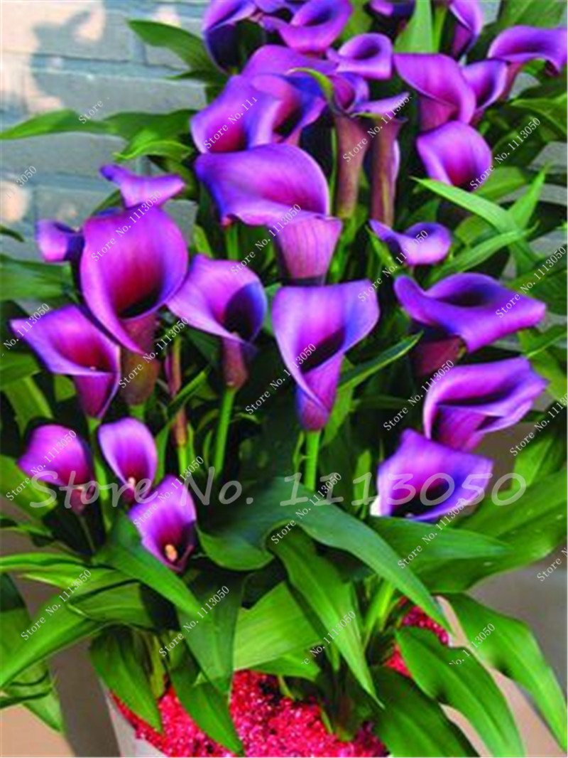 Rose Purple Calla Lily Seeds Potted Balcony Calla Lily Radiation