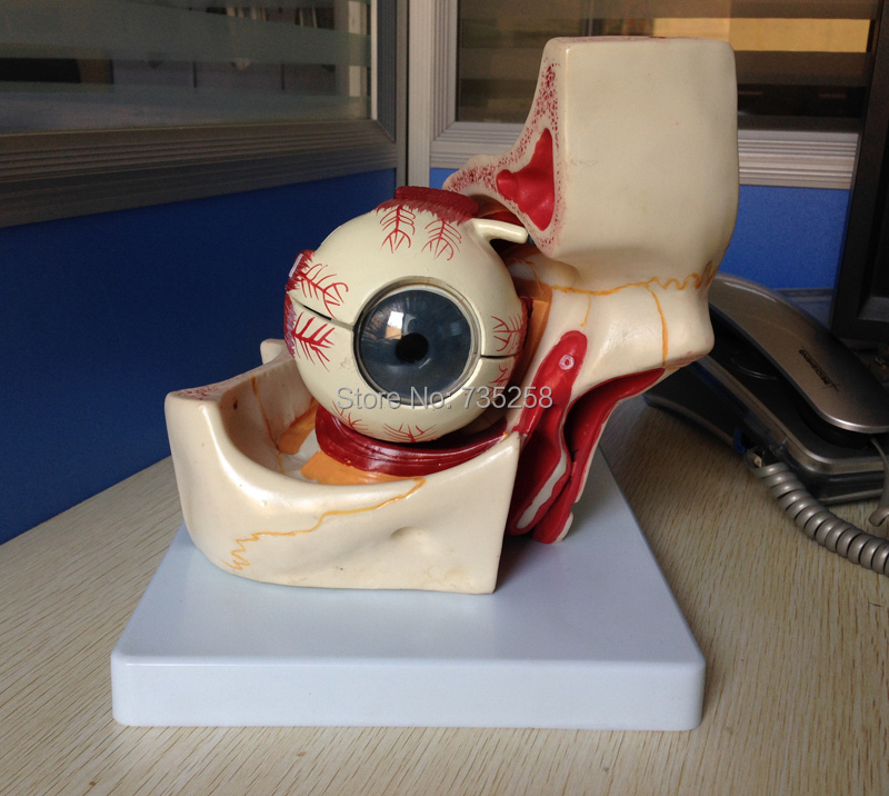 цена на Eye with Orbit,Eyeball Structure Model ,Orbital model