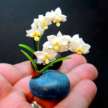 100 Pcs Rare mini Bonsai Orchid seeds balcony Mini Orchid flower pot seeds Beautiful Garden flower Seeds(China)